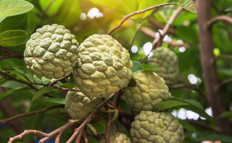 Cono de pino: conoce los poderes antioxidantes de esta fruta